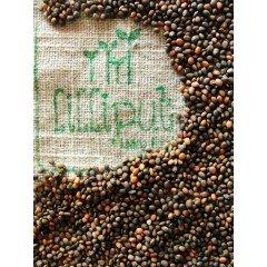 Semillas de Rúcula para germinar ecológicas