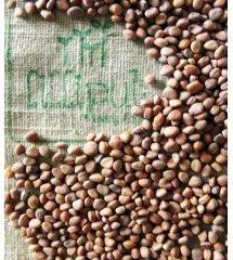Semillas de Rabanito Daikon para germinar ecológicas