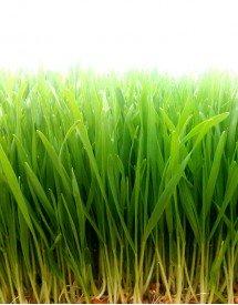 Hierba de Trigo Fresca y Ecológica