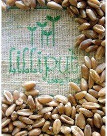 Semillas para Hierba de Trigo ecológicas